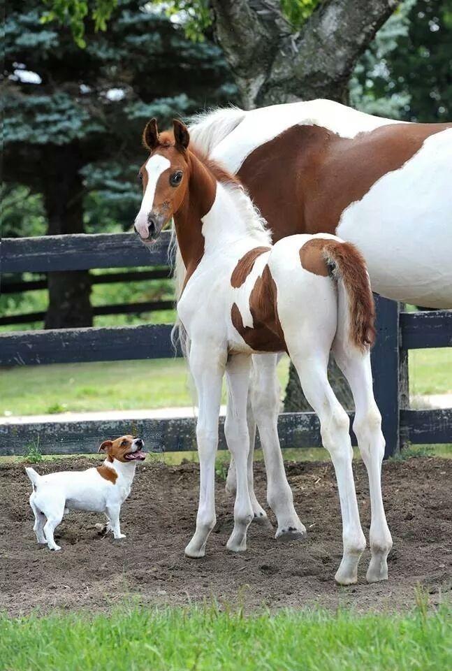 Joli assortiment d'un beau poulain et un mignon petit Jack Russel