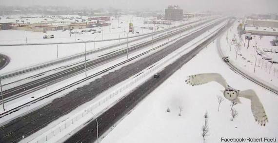 Gufo delle nevi in volo ripreso dalla telecamera di sorveglianza stradale posta sulla Highway 40 a Montreal, in Canada, nella provincia del Quebec