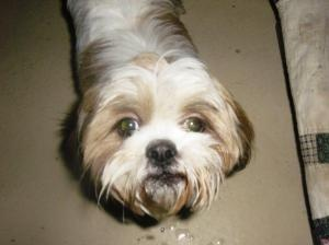 """Snookie """"she is getting a new name"""" is an adoptable Shih Tzu Dog in Battle Creek, MI. Snookie is a friendly tan and white Shih Tzu. She's 8-10 months old. Sheishappy, friendly,playful, andknows how to 'sit'. She gets along ...  SHE IS GOING TO A GREAT HOME!!!"""
