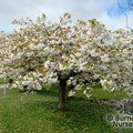 Prunus 'Tai Haku' from Burncoose Nurseries FLOWERING CHERRIES |