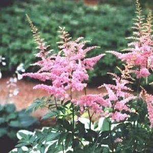 Astilbe arendsii Cattleya / Astilbe Mørkrosa blomster Blomstrer i juni-juli Velegnet til afskæring Højde 100 cm. Sol-halvskygge 5-6 planter pr. m2