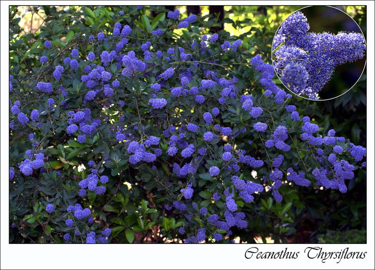 the  best blue flowering shrubs ideas on   blue, Natural flower