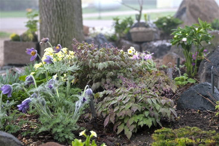 Installiation... a new home for epimediums in the rockery