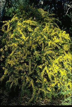 Kangaroo thorn, Acacia paradoxa