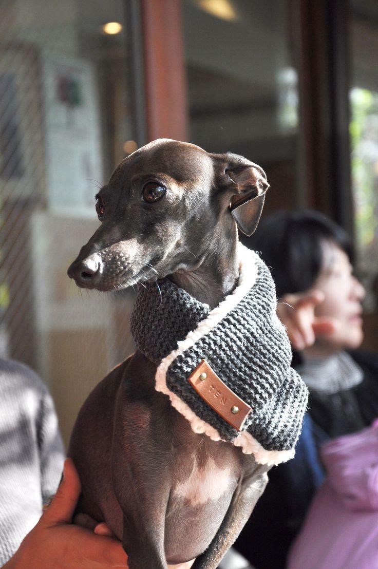 Ten : Italian greyhound #Italiangreyhound #dog