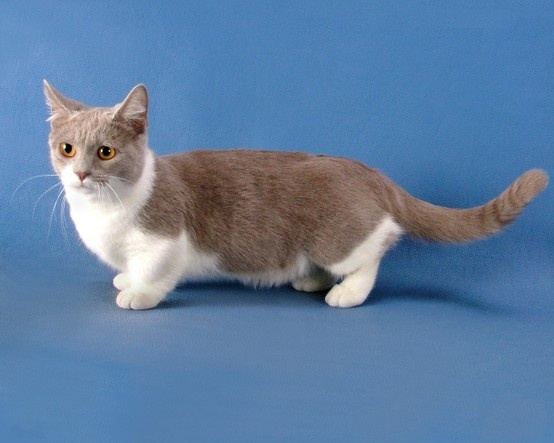 Cats In Canada On plus Munchkin Cat Alberta Winsome Exotic Scottish Fold ( Cats) Kittens For Sale, Alberta Canada (Past with ...