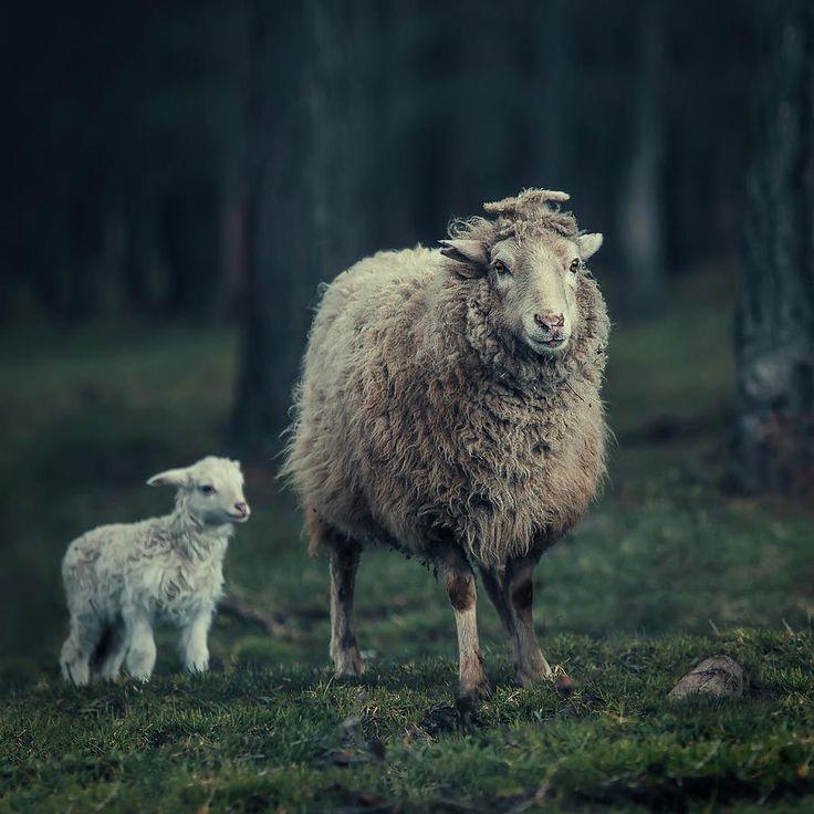 Mother Sheep Photograph by Oksana Ariskina. Farm country animals  #OksanaAriskina #ArtForHome #FineArtPrints #InteriorDesign #PrintsForSale #Sheep #Farm #Forest #FairyTale #Lamb #Rural www.oksana-ariskina.pixels.com @pixels @fineartamerica