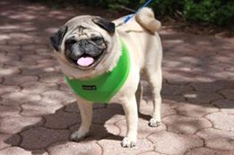 Shandu in his Green Soft Puppia Harness that was purchased at a Pug Rescue Fundraiser Event from Paw Imprints & Gifts @ www.puppiaharness.ca