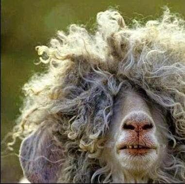 Funny sheep to make you giggle: get a haircut sheep at LoveKnitting
