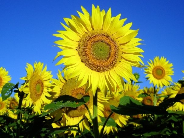 best sunflower picture ever!