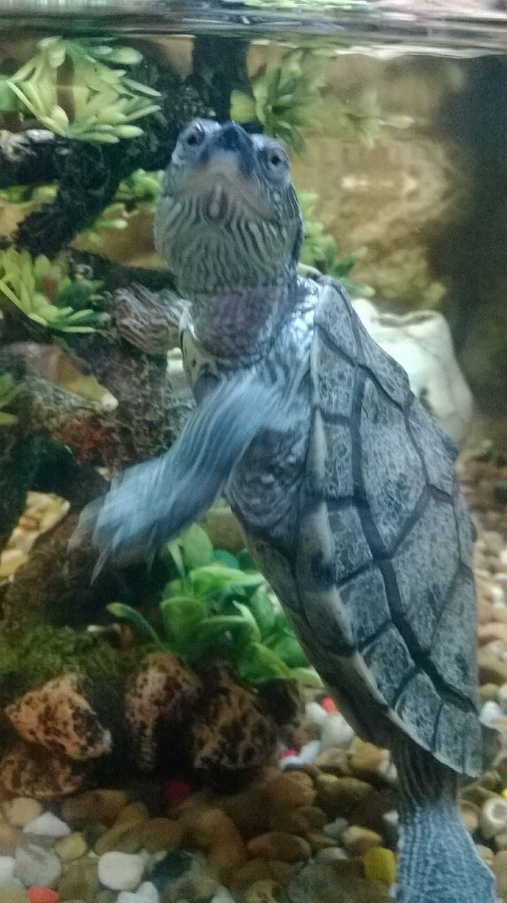 Mississippi Map Turtle.