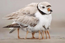 Mama Bird: Optical Illusions, Mothers, Funny Animal Pictures, Legs, Baby Chicks, Birds, Animal Photos, Feathers Friends, Pipe Plover