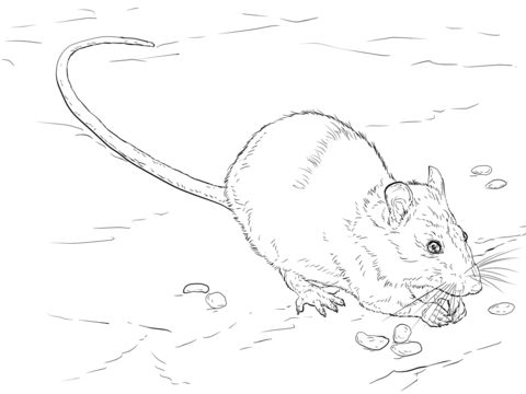 Brown Rat Coloring page