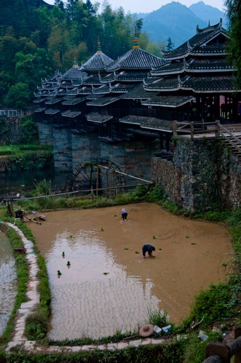 gardening in China -- Rice is a seed, and this is a flooded rice paddy. Sometimes one has to use one's imagination.