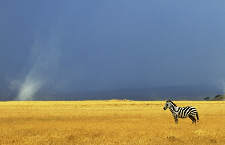 A storm was brewing on the plains of the Amboseli National Park, which created fantastic light and contrasting colours.As the winds picked up, small sand-devils were formed, but this didn't seem to phase the lone zebra on the plains.