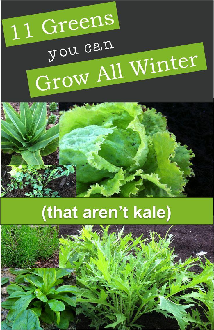 11 greens you can grow all winter, including - pea greens or shoots, mizuna, garden sorrel, non-bulbing fennel, basil, lettuces, mache, salad burnet, agretti, land cress, and arugula