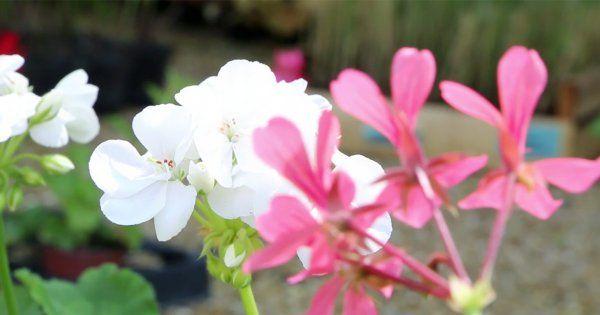 Jardinière géranium : toutes nos astuces - Marie Claire Maison