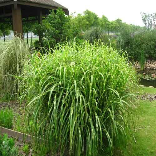Miscanthus sinensis 39 zebrinus 39 plantes ext rieures for Plante et arbuste exterieur