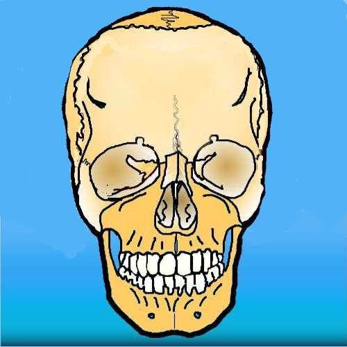 Cranio visto di fronte. Illustrazione eseguita per il corso sul trattamento fasciale (destinato a neurologi, ortopedici, fisioterapisti) 2012