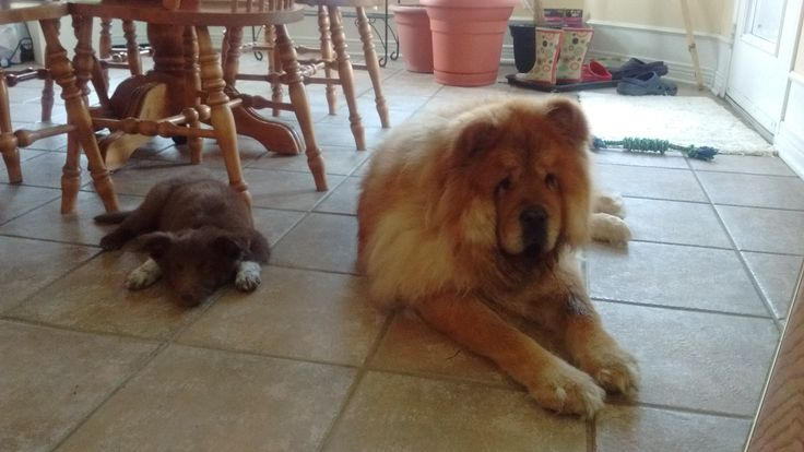 Rowan and Jazz, our old chow chow