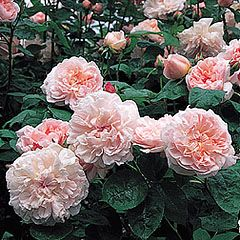 The English Tea Rose: Abundant and oh so sweetly fragrant, not at all like their sterile mass marketed cousins.
