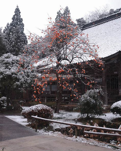 Persimmon tree in the snow  at Kouninji Temple in Sado Island, Japan  I loved persimmons