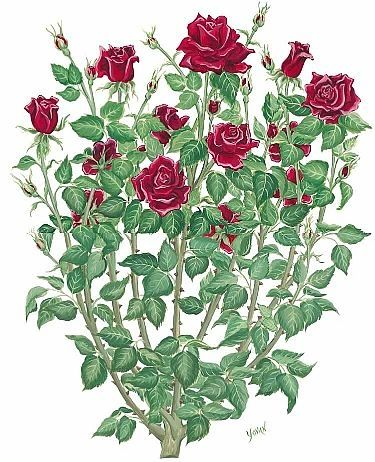 How to draw a rose bush painting pinterest rose bush drawing tattoos and roses - Planting rose shrub step ...