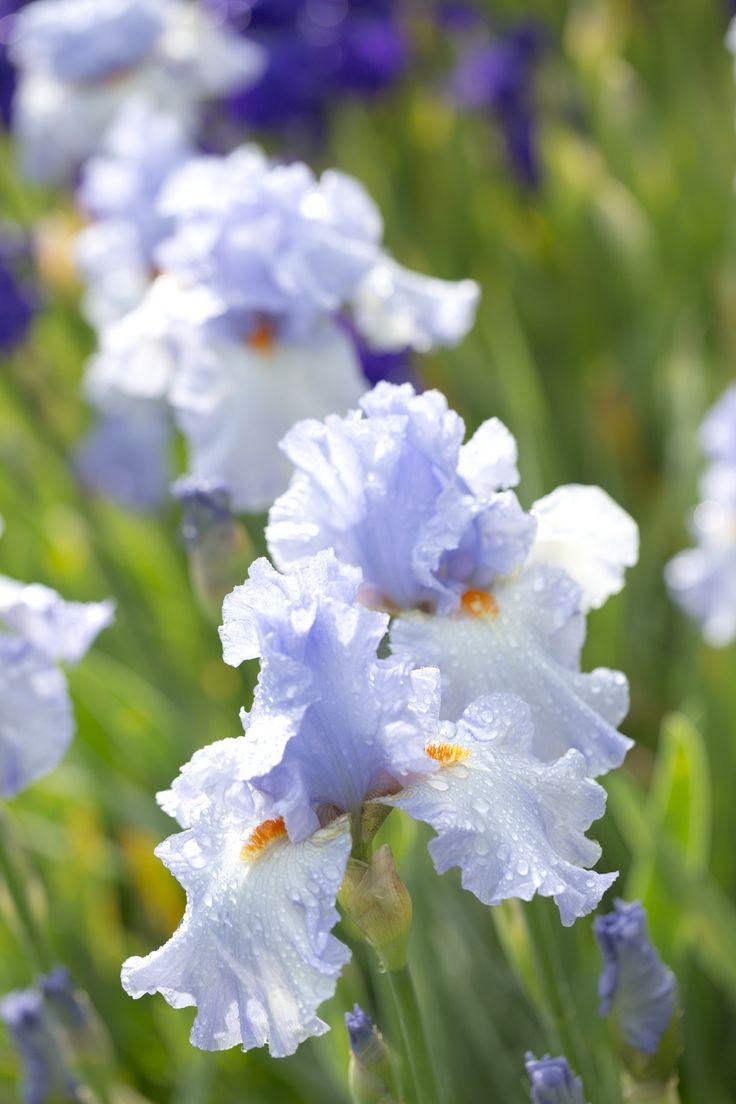 Collection d 39 iris des jardins un jardin fleuri et vivant for Aubade jardin d iris