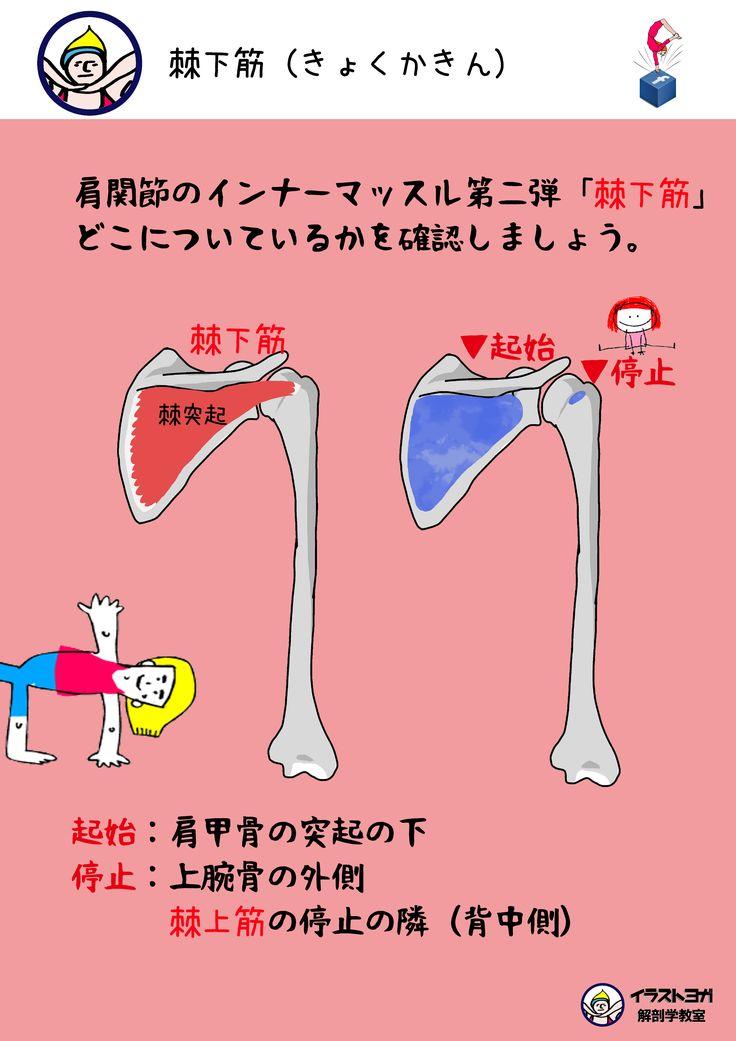 ヨガ解剖学 棘下筋