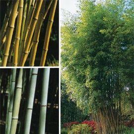 Bambou géant : Phyllostachys nigra 'Henonis'
