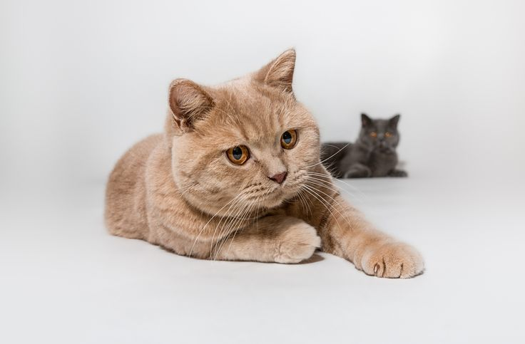 Photograph British Shorthair by Tom Nielsen on 500px
