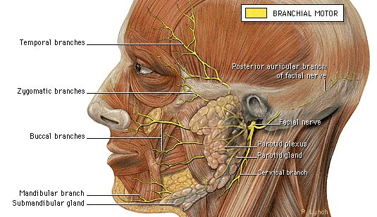 Figure 7-6. Extra-cranial course and final innervation; branchial motor components of the facial nerve.