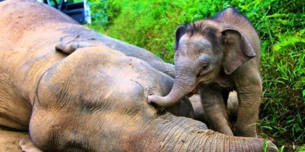 "I just signed the petition: ""Save Borneo's Pygmy Elephants From Palm Oil Companies!""  Will you join me in supporting this issue?"