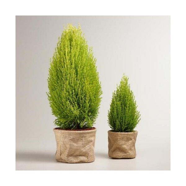 Cost Plus World Market Live Lemon Cypress Tree in Burlap ($40) ❤ liked on Polyvore featuring home, home decor, cost plus world market and burlap home decor