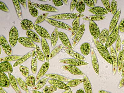 Euglena Under Microscope - Bing Images | Geeking Out ...