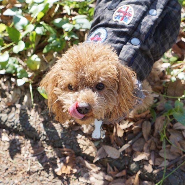 Good morning☀ Have a nice weekend😆  おはようさん☀ 良い週末を~😆 #toypoodle #fluffydog #windy#cutedog #愛犬#トイプードル#トイプー#ふわもこ部#今日のわんこ#inutokyo#todayswanko#east_dog_japan #all_dog_japan #ファインダー越しの私の世界 #駒沢公園#わんこなしでは生きていけません会