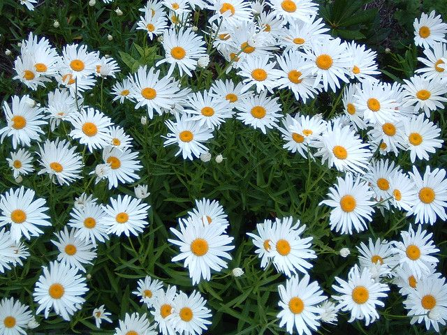 The world of daisy plants is diverse, all with different needs. However, one thing common to nearly all daisy varieties is deadheading, or removal of their spent blooms. Read here to learn how it's done.