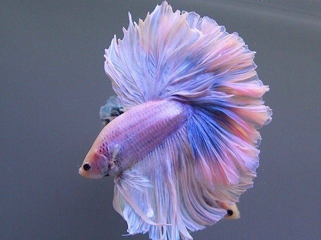 Chinese fighting fish light purple light blue all kinds for Betta fish light