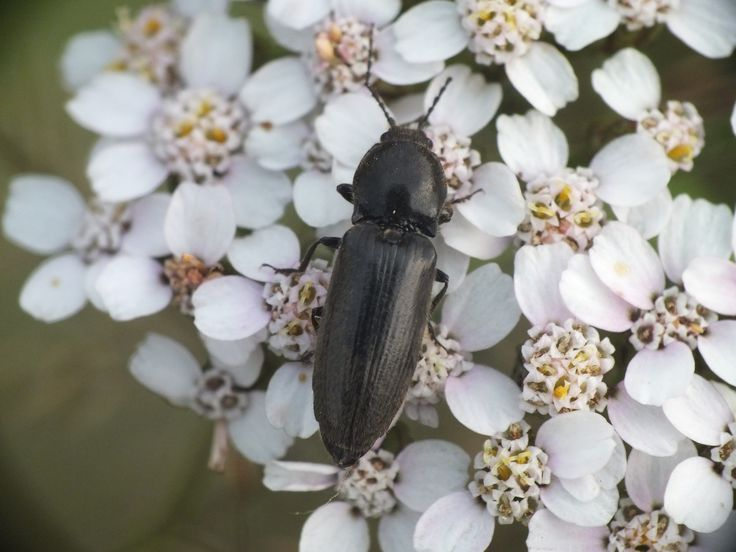 Osiewnik czarny