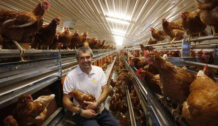 Una granja leonesa que cría gallinas en libertad es proveedora de la Casa Real