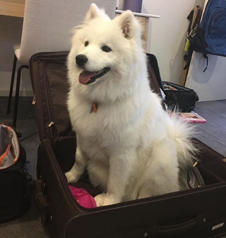Room for one more? @harlow_the_samoyed