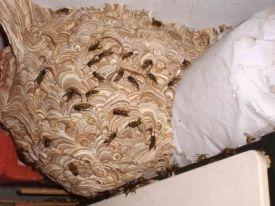 Wespennest van de gewone wesp