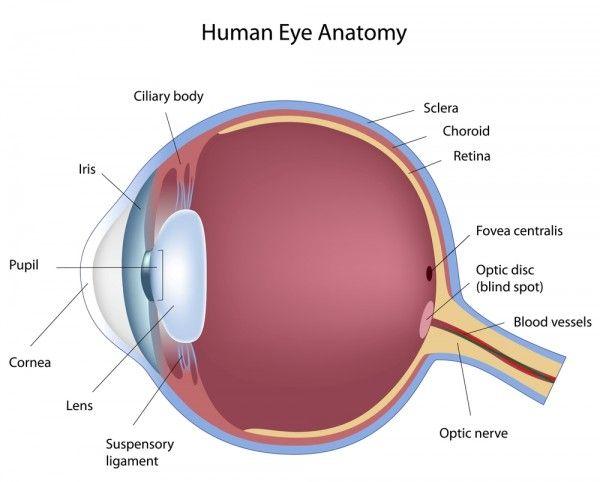 17 best images about diagram human ear diagram human eye diagram