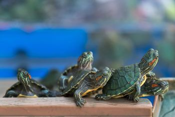 Find out what you need for a full grown red eared slider. It's probably more than you think!