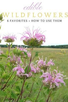 Grow edible wildflowers and learn to cook with them! Use them in teas, salads, or even just on their own. Lots of recipes and ideas for edible wildflowers.