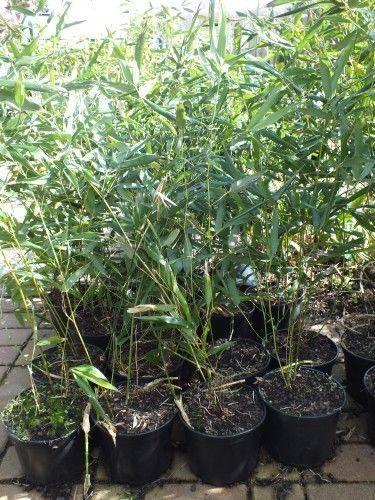 Bambus-Phyllostachys-bissetii-40cm