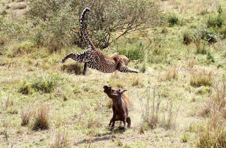 Flying leopard Photo by Peter Thompson — National Geographic Your Shot
