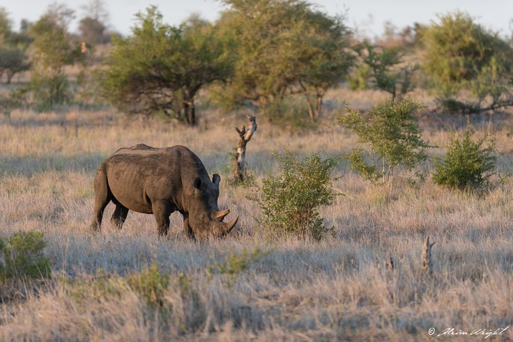 Rhino in Kruger National Park - Photo by Adrian Wright