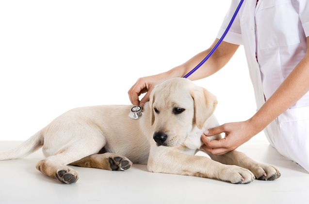 It's not just a common cold – be on the lookout for these kennel cough symptoms and know what to do about it.