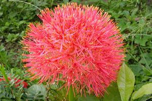 How to grow Football Lily  : Flowering plants Gardening
